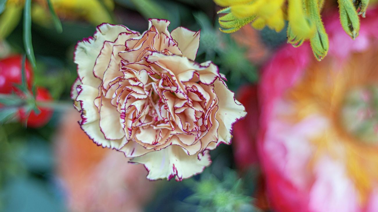 close up of a pale pink carnation in bloom