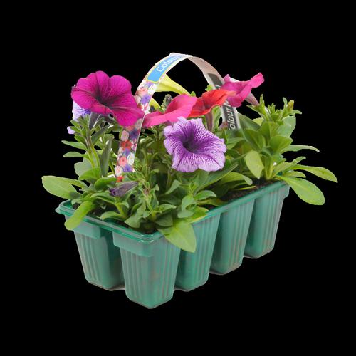 Colourmax Petunias - Petunia hybrida - 8 Pack