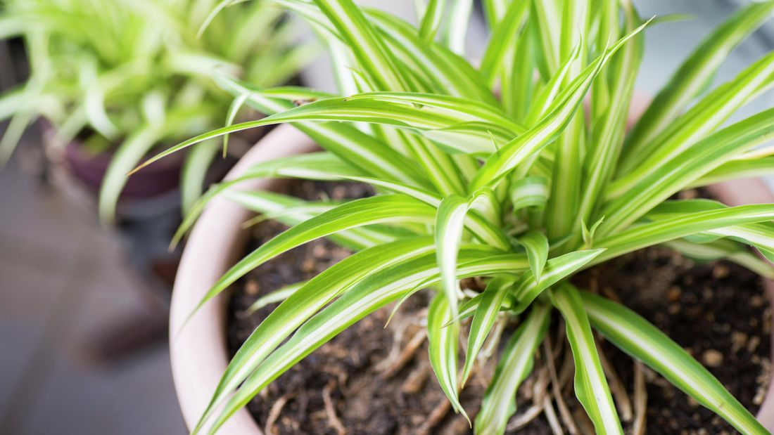 High angle of a spider plant with green and white leaves.