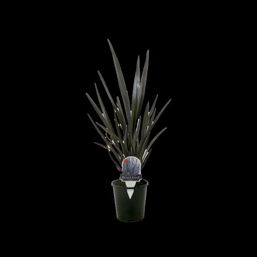 1.5L Flax Assorted - Phormium tenax