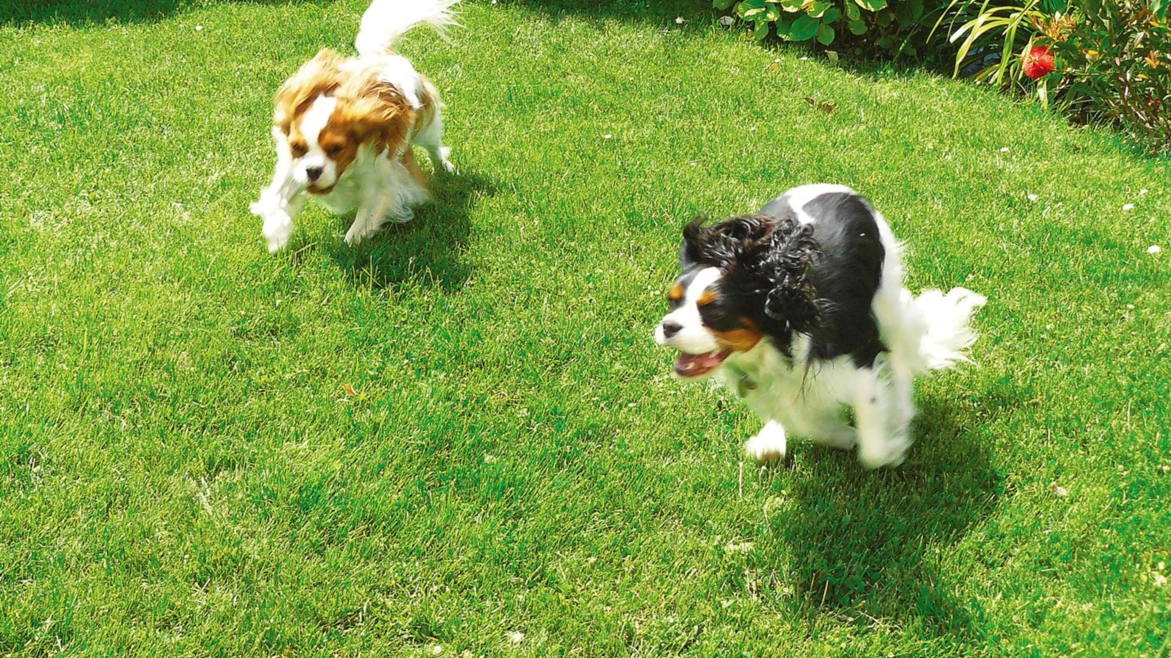 Two dogs running on the lawn.