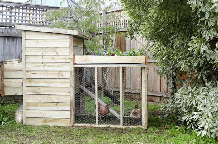 A chicken coop in a high fenced backyard, with mesh walls and two chickens inside, a planter box on the roof and a ramp leading up to a raised nest area