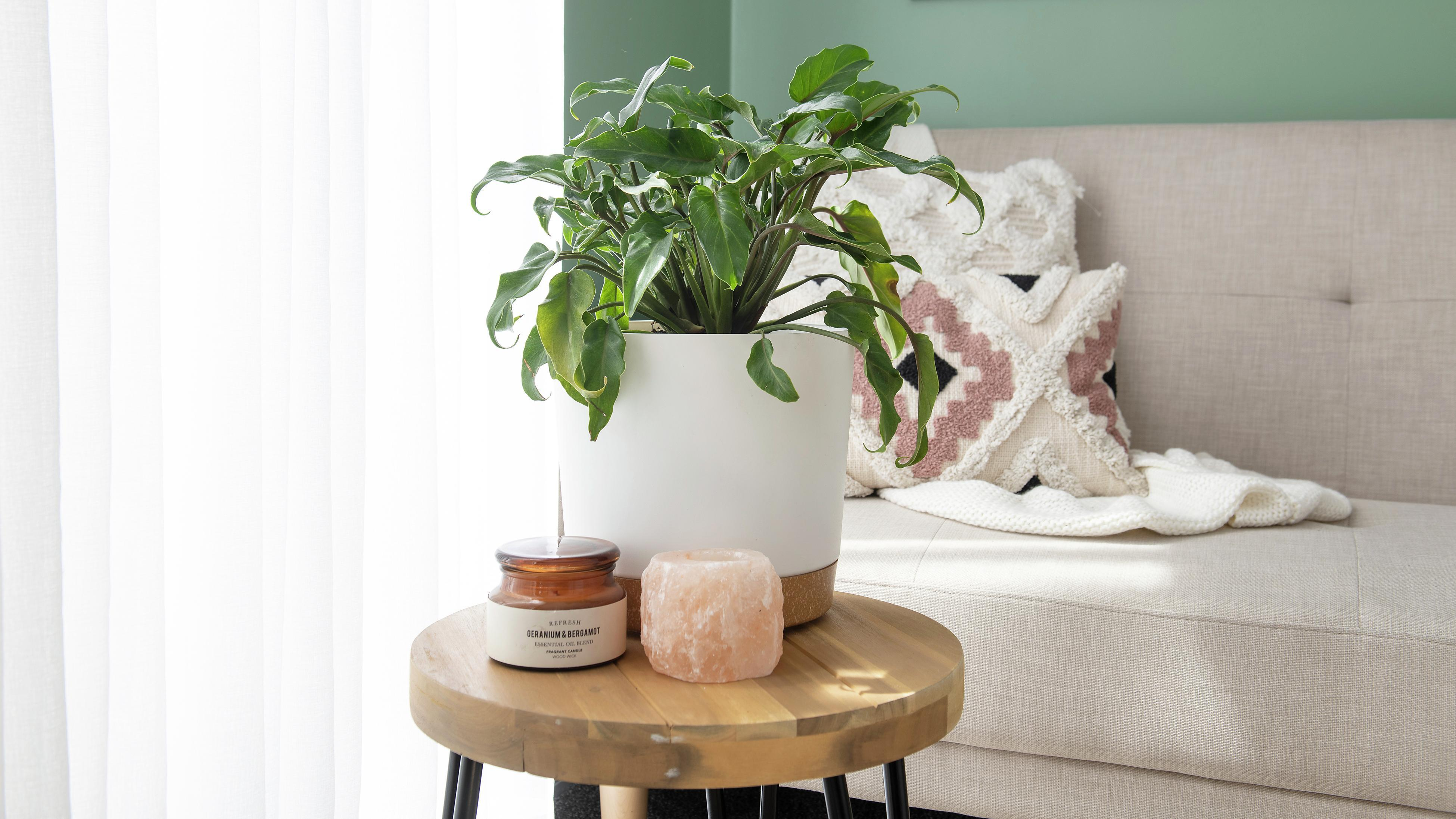 The Philodendron plant in a white pot.