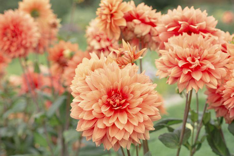 Orange-pink flowers