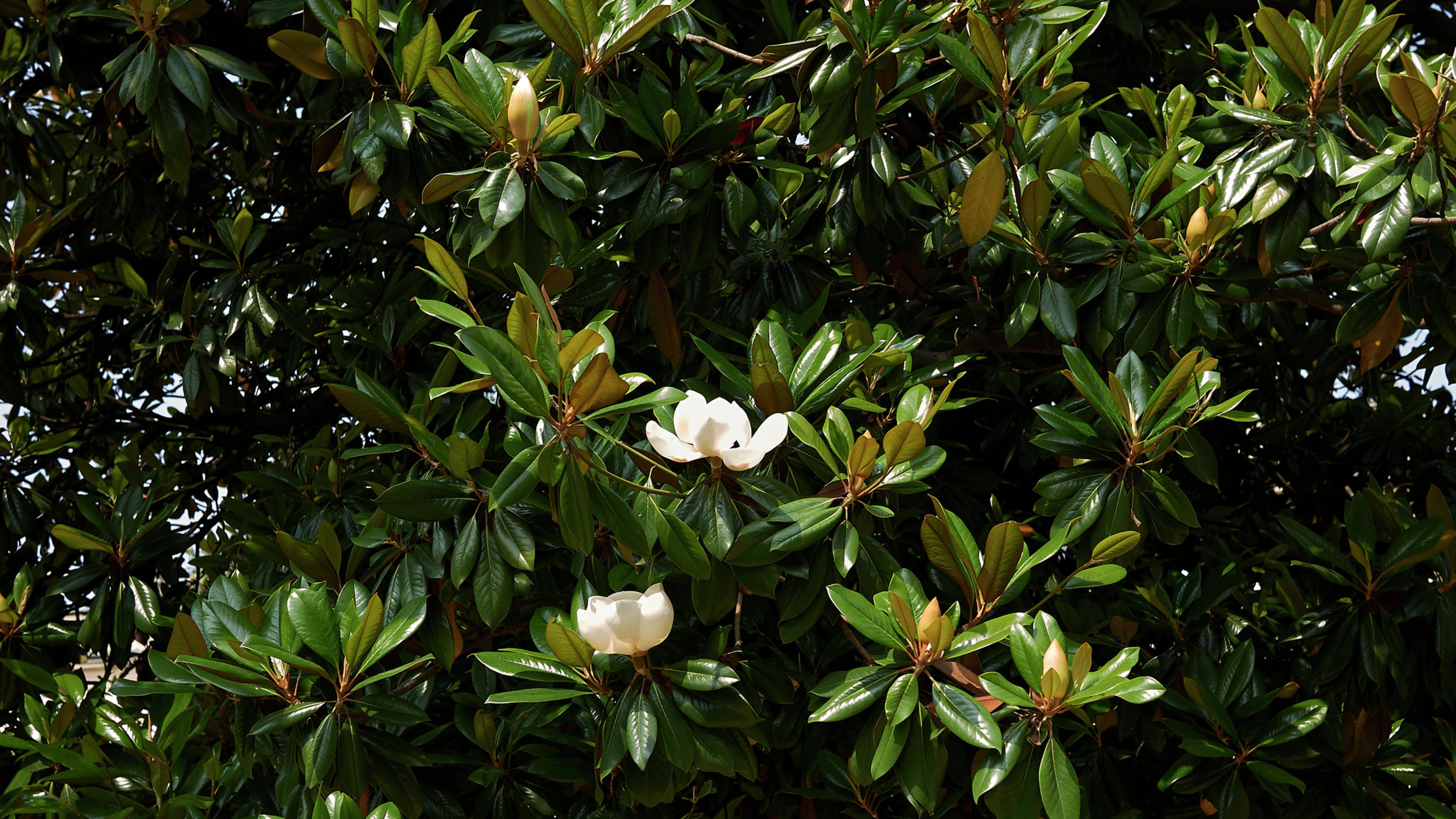 Close up of the Little Gem magnolia.