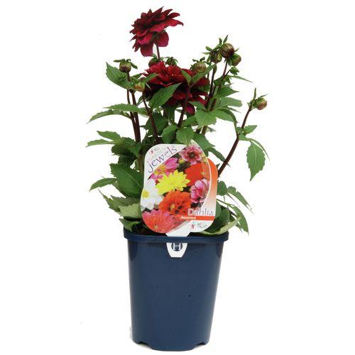 150mm Dahlia Perennial - Dahlia juarez - Garden Jewel Range