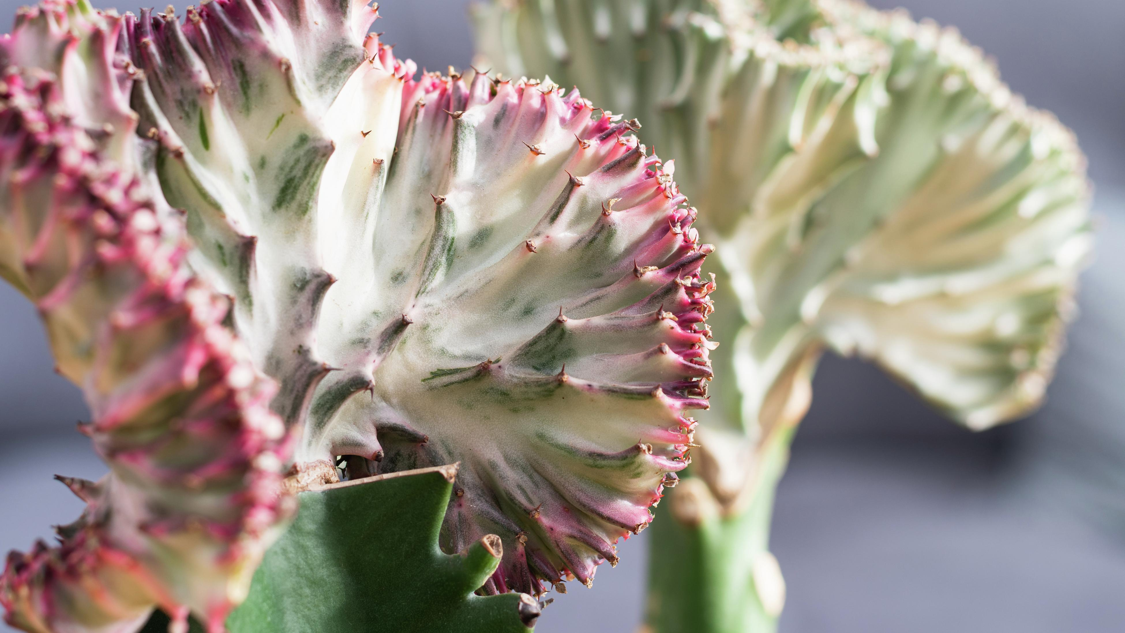close up of a mermaid tale succulent with a red tinged edge