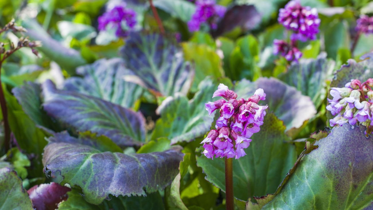 A bergenia plant with a pink-purple flower.