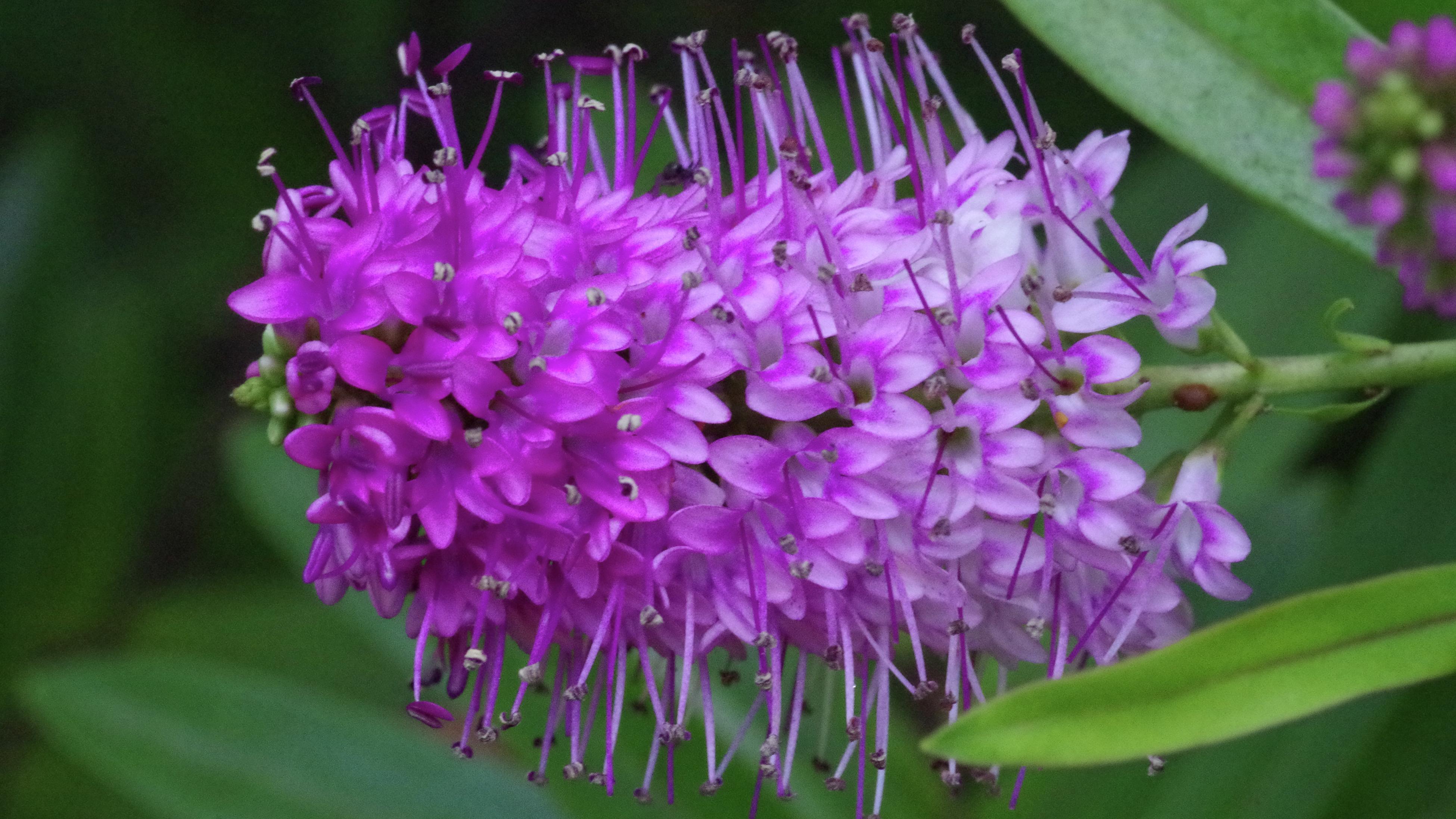 A purple hebe flower