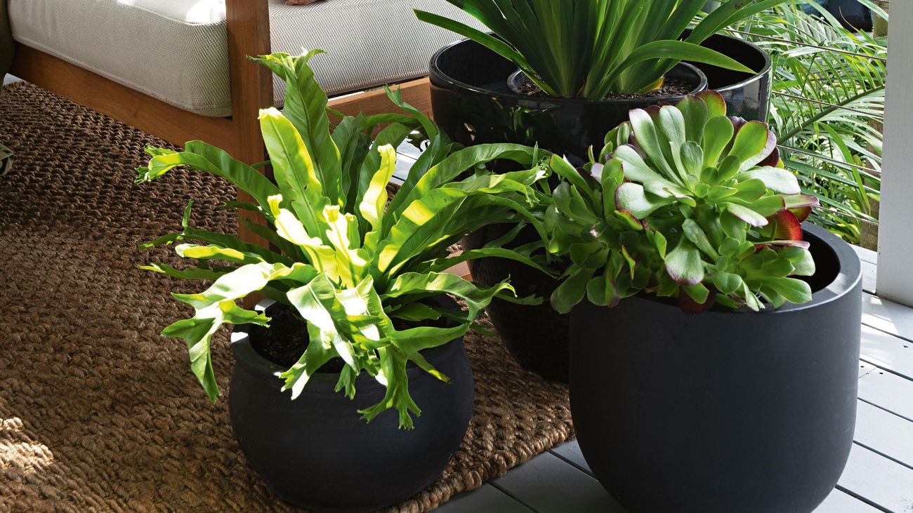 Three black outdoor pot plants on a deck with a timber outdoor lounge