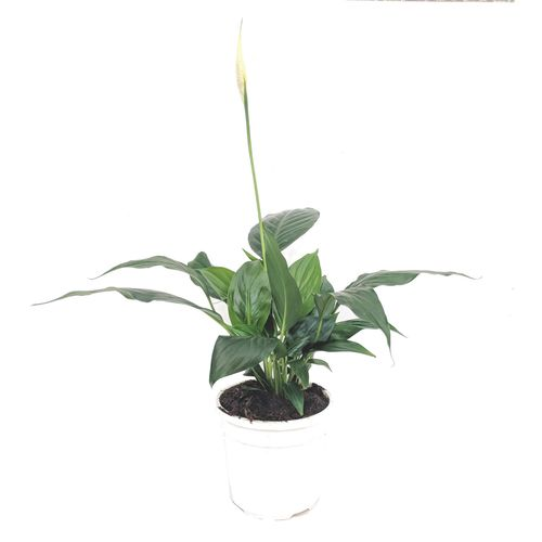 Green House 130mm Peace Lily - Spathiphyllum chico