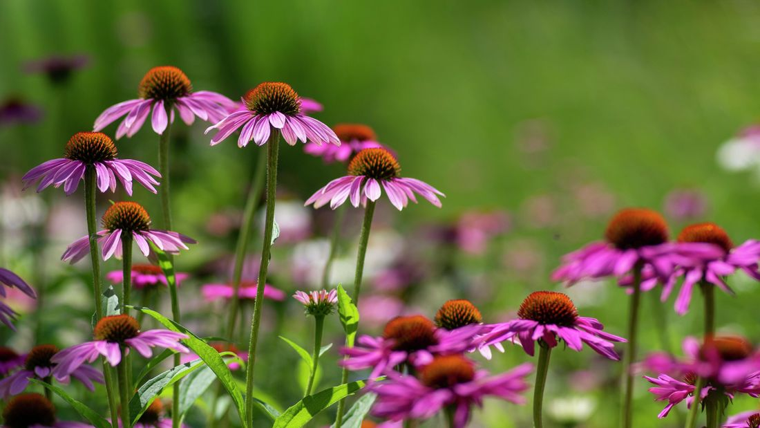 Purple echinacea flowers in a garden