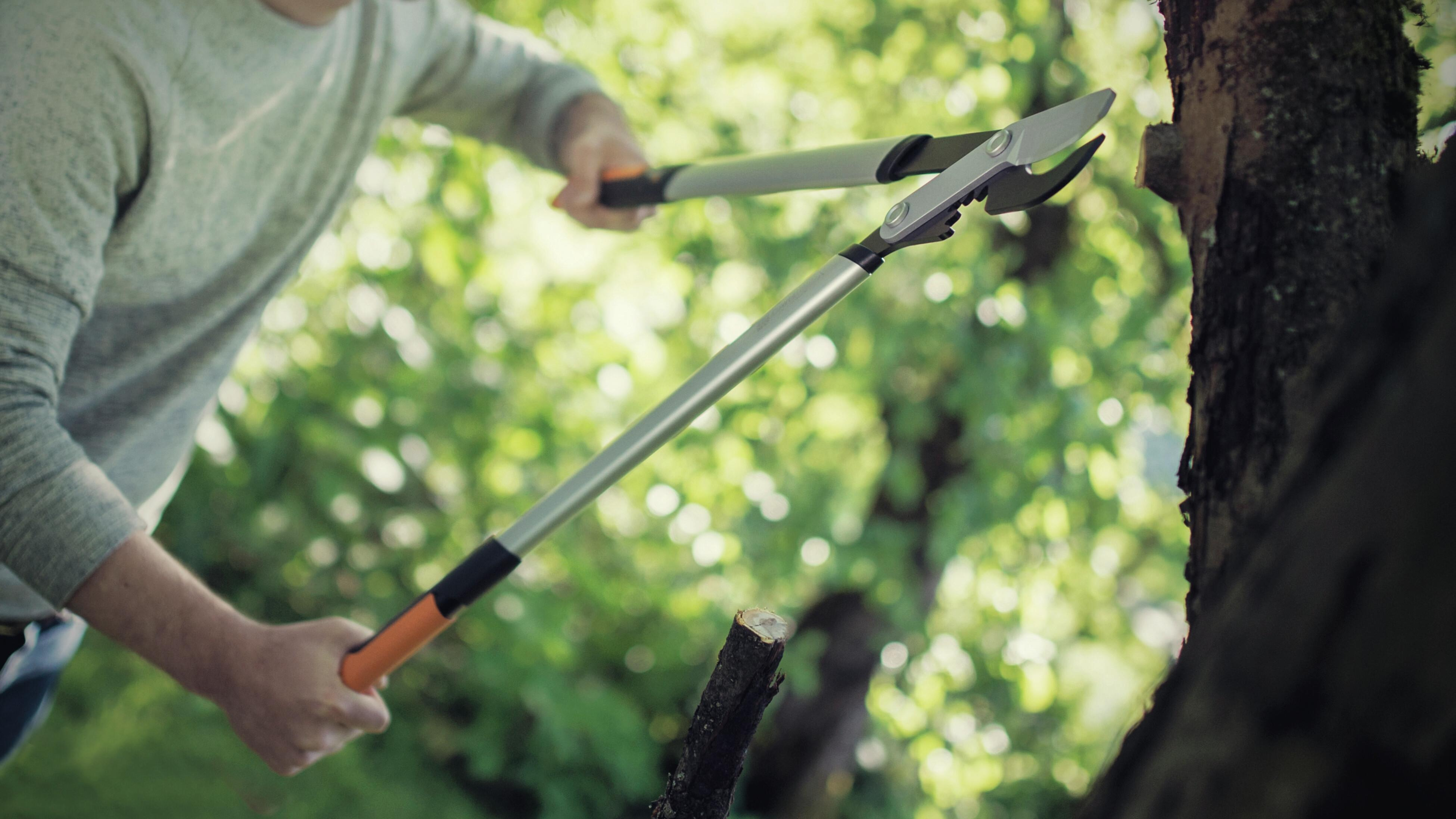Using loppers to prune a tree