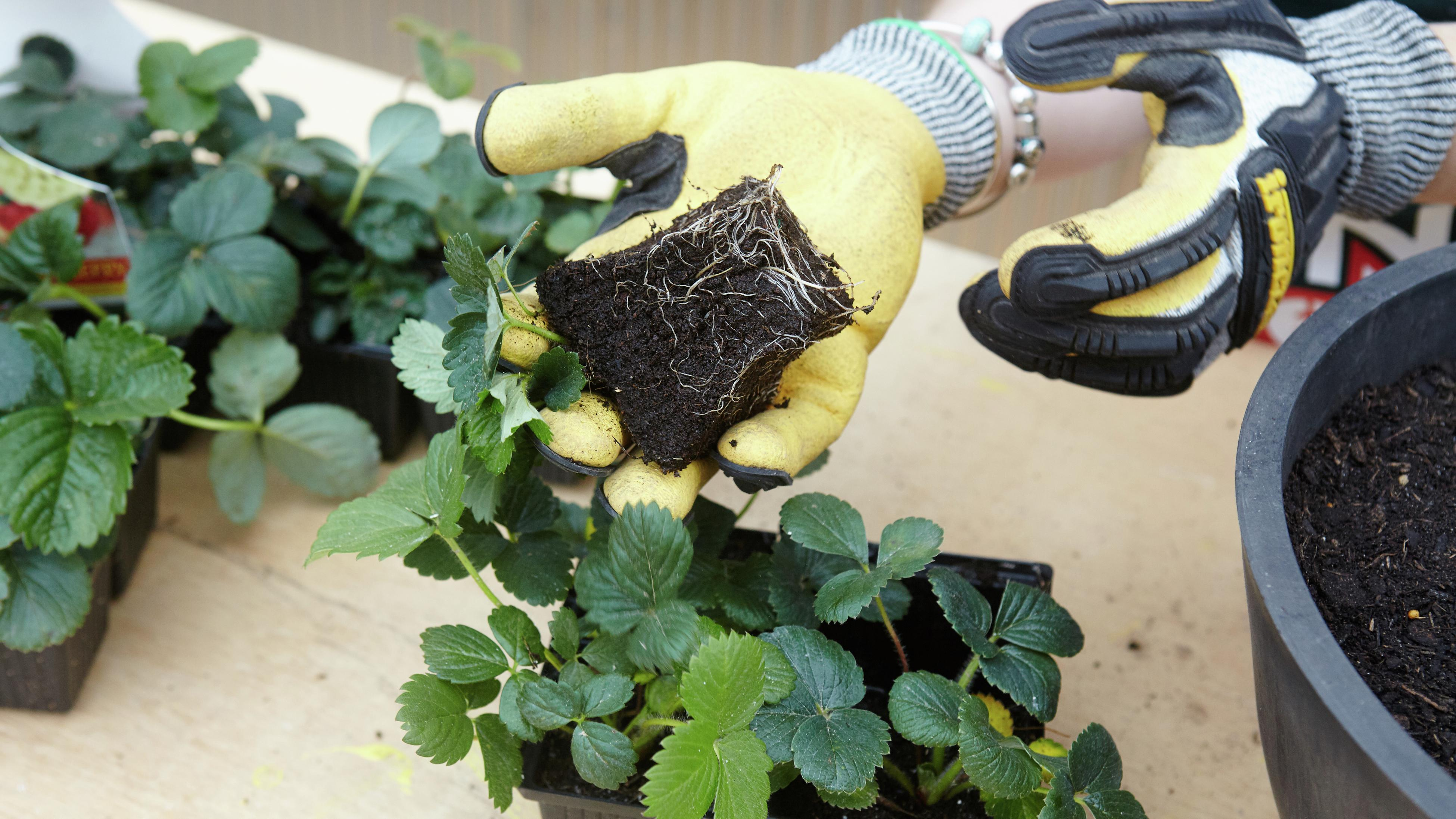 A person planting strawberry seedlings in a pot.