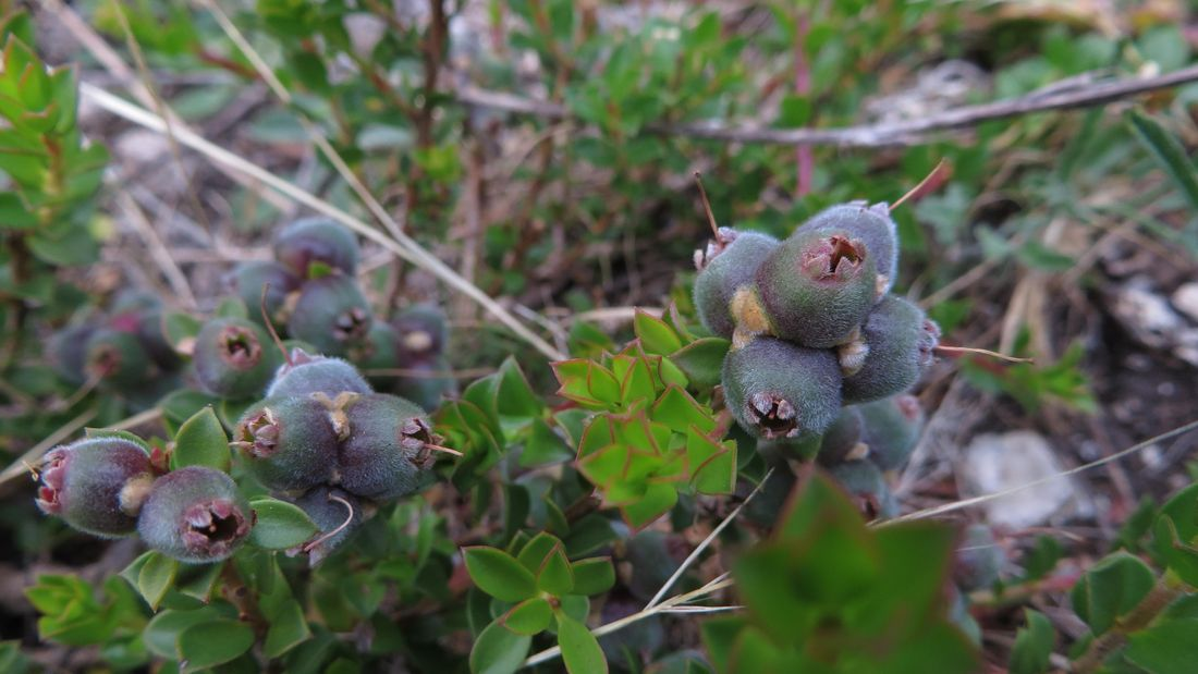 Muntries plant with purple-green fruit