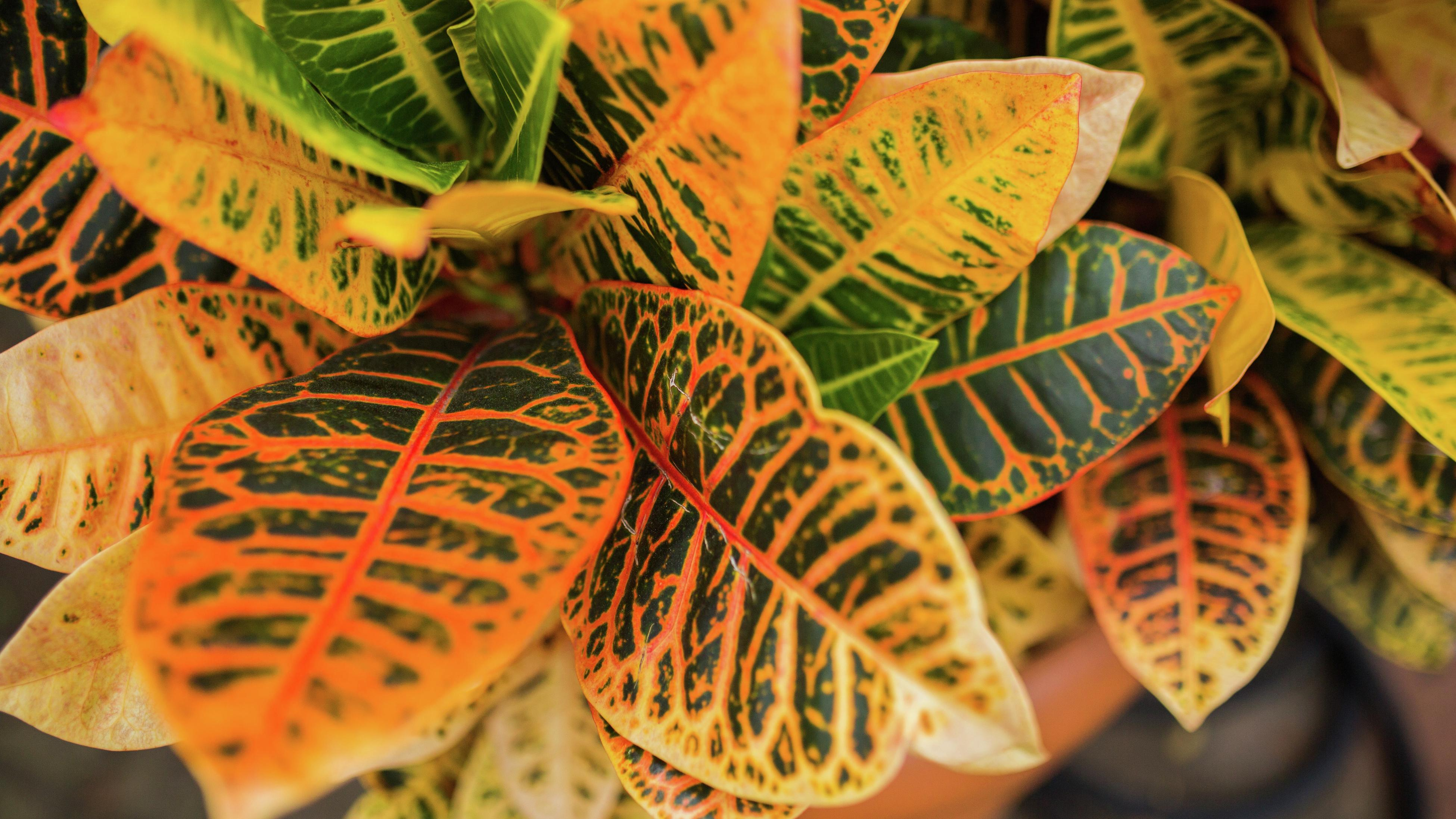 birds eye close up view of the yellow and orange tons of the Croton's leaves