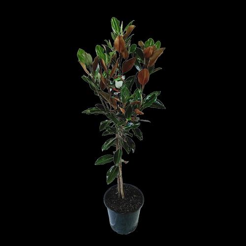 250mm Magnolia Little Gem - Magnolia grandiflora