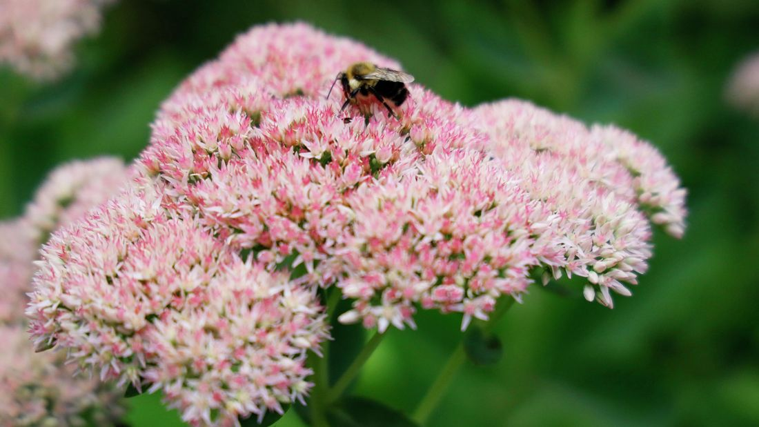 pale pink Sedum plant in flower with a bee