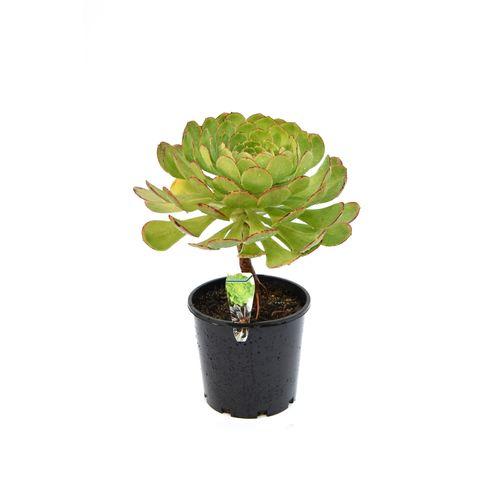 20cm Aeonium - Aeonium arboreum