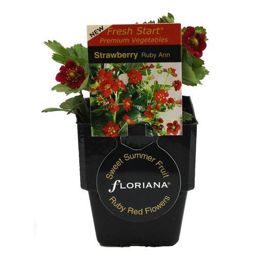 125mm Strawberry Ruby Ann - Fragaria ananassa
