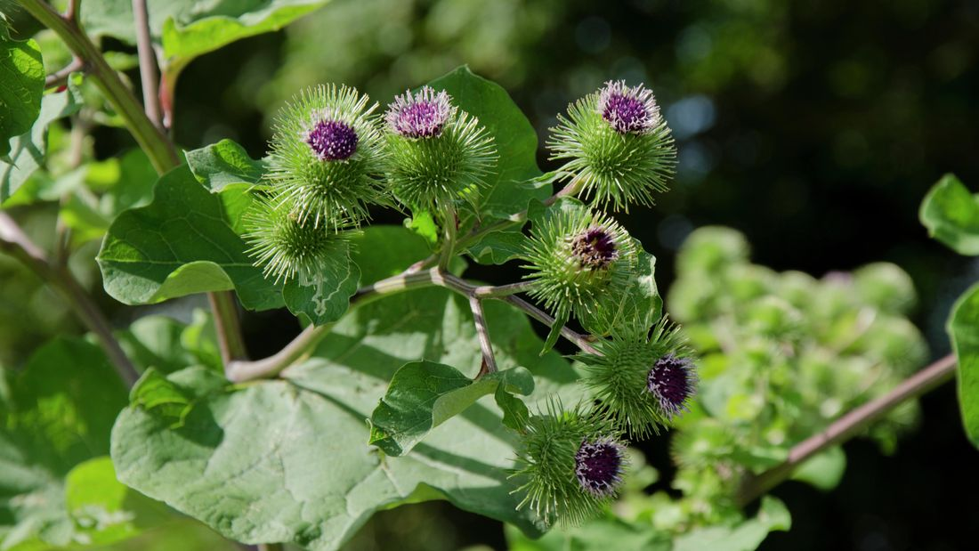 Purple flower and leaves of the burdock plant