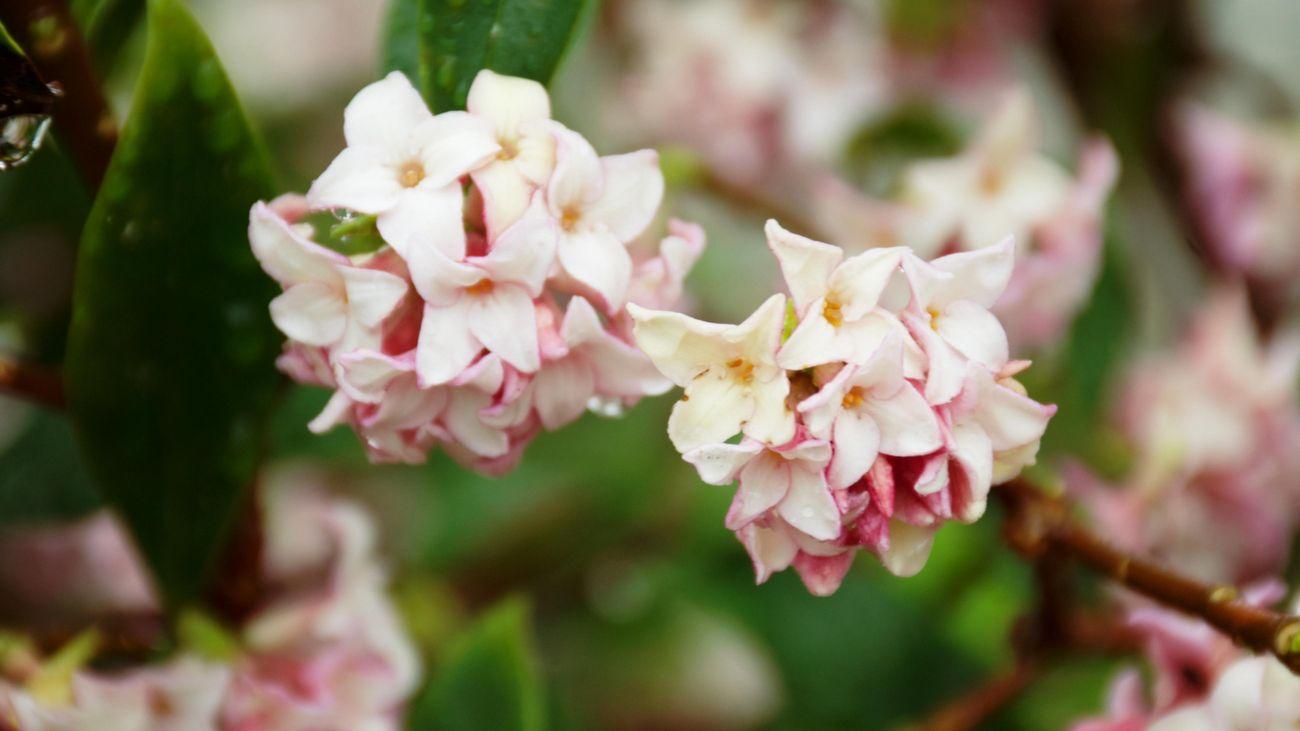 close up of a daphne flower