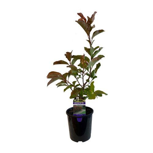 1.9L Photinia Red Robin - Photina x fraseri