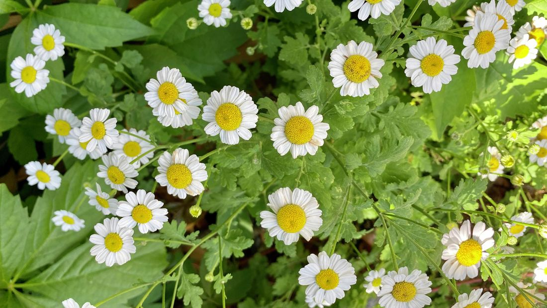 High angle closeup view of a group of beautiful vibrant white pyrethrum daisies growing in a garden on a sunny day in Spring