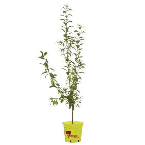 250mm Primetime Plum - Prunus salicina