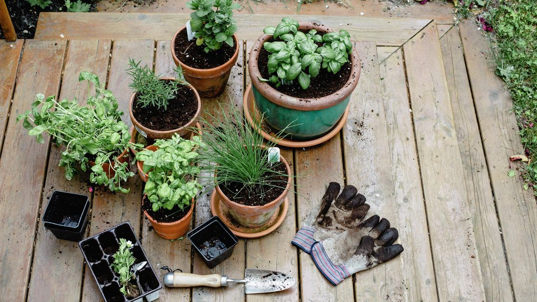 Herbs in pots including basil, rosemary and parsley, with gardening gloves and tools