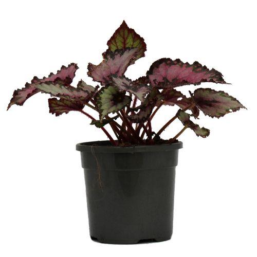 130mm Painted Leaf Begonia - Begonia rex