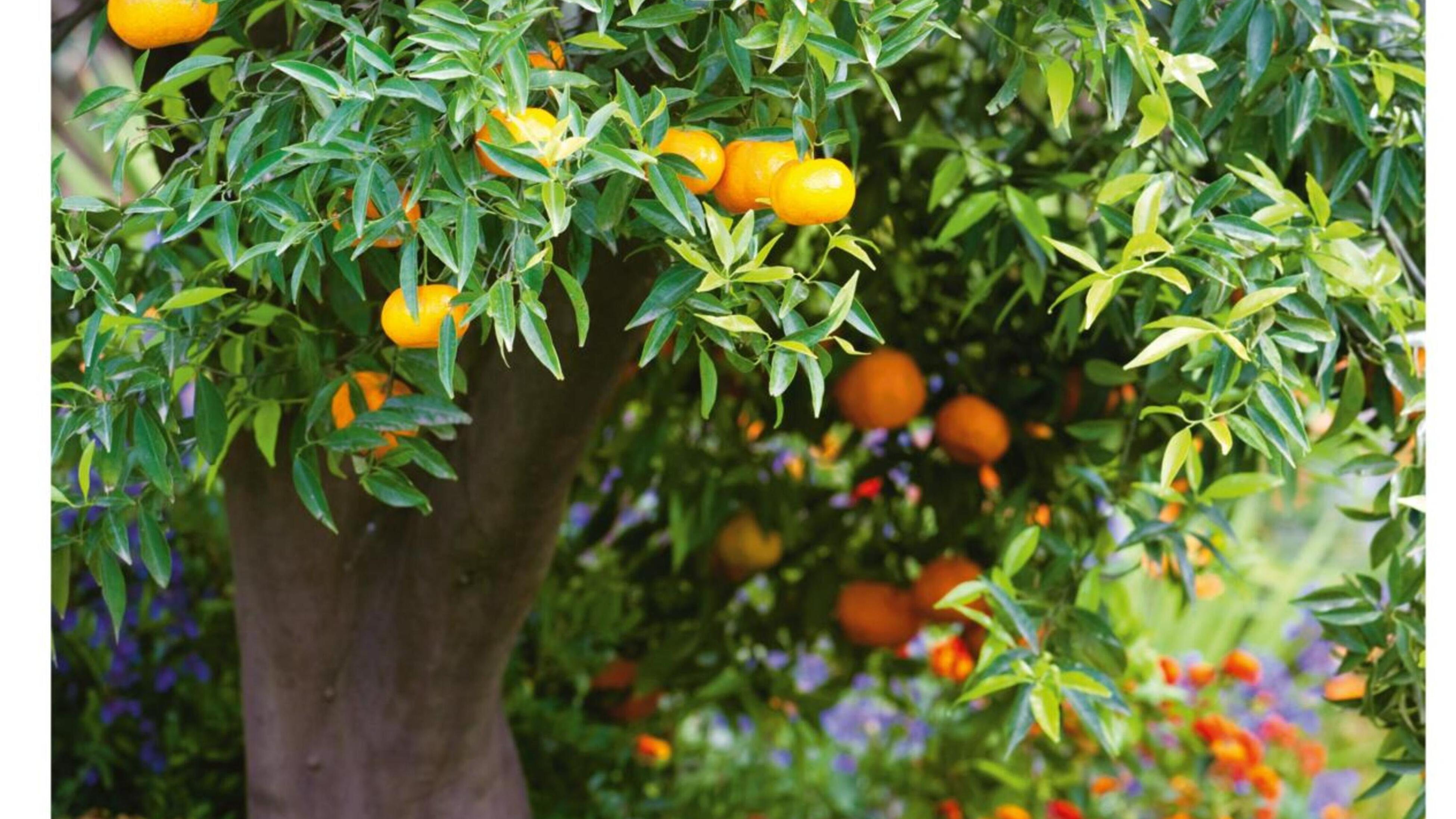 Mandarins growing on a fruit tree.
