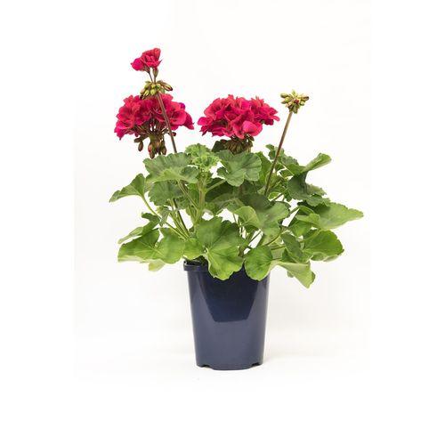 150mm Geranium Red - Pelargonium zonale hybrid