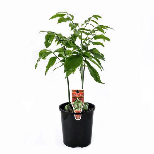 140mm Black Bean - Castanospermum australe