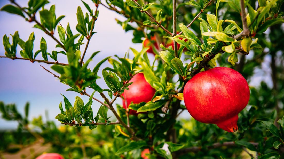 Pomegranate fruits growing on a tree