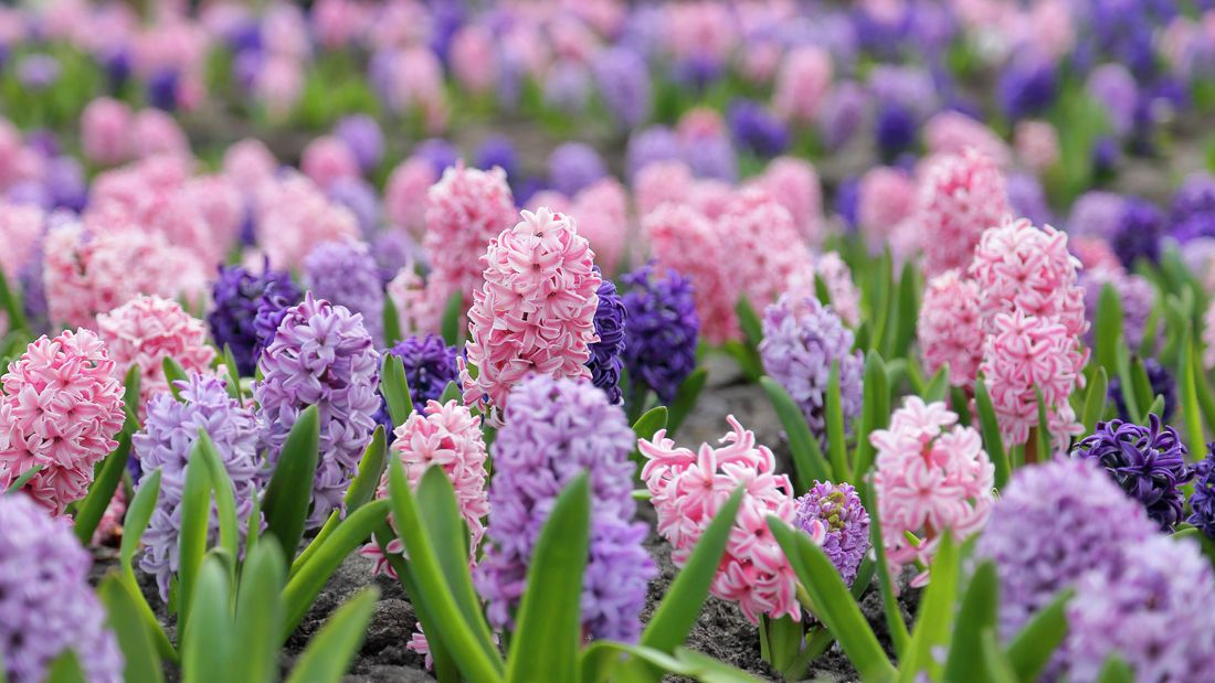 A field of pink and purple hyacinth flowers among green leaves