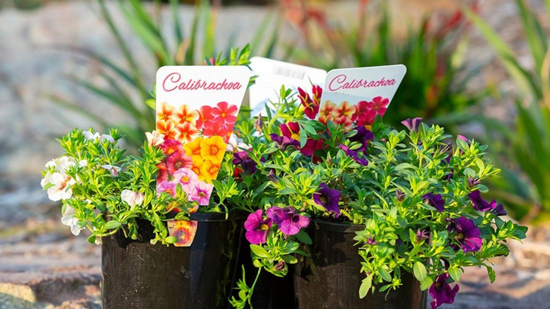 Calibrachoa, commonly called million bells or trailing petunia.