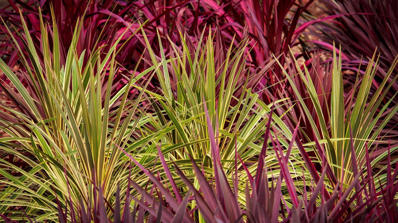 Cordyline plant.