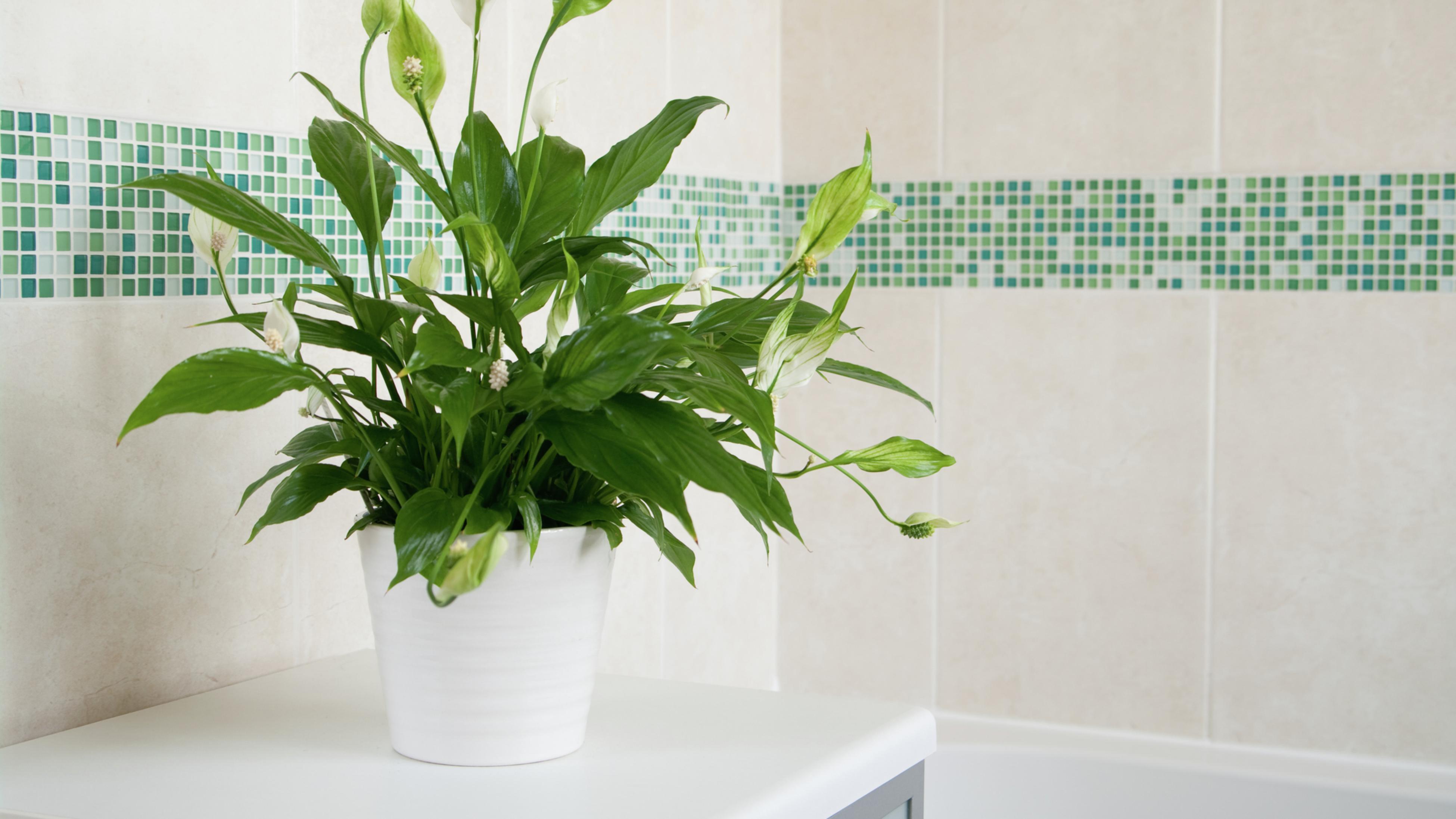 Peace lily (Spathiphyllum wallisii)