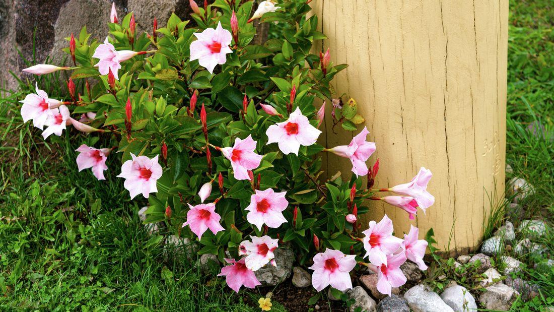 Wide shot of a flowering pink  mandevilla plant in a garden