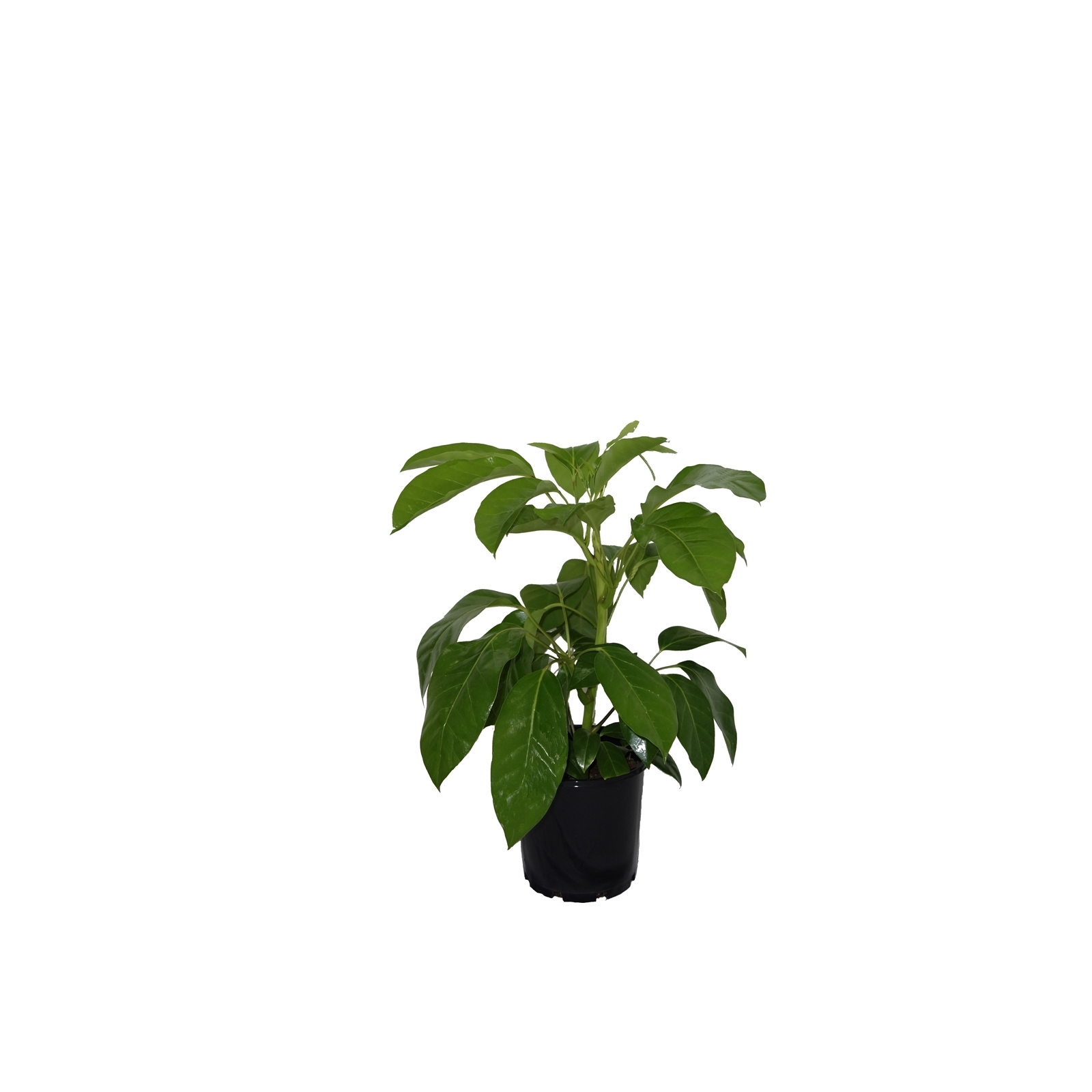 200mm Umbrella Tree - Shefflera amate