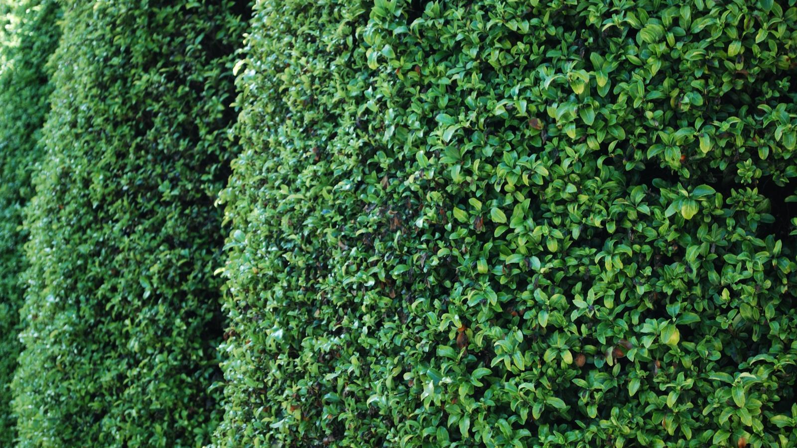 Tall hedges.