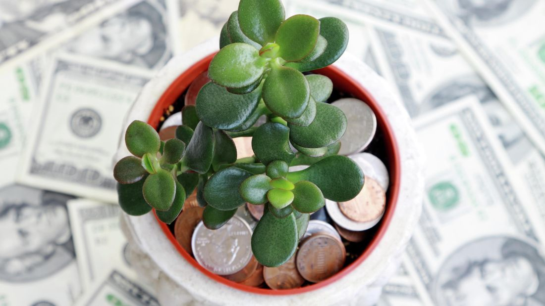 Wide shot of a jade plant surround by money.