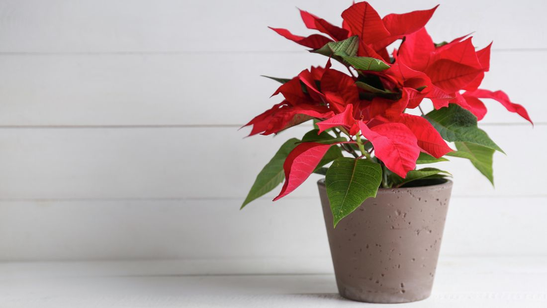 DIY Advice Image - Planting, growing and pruning poinsettias. G Drive blob storage upload.