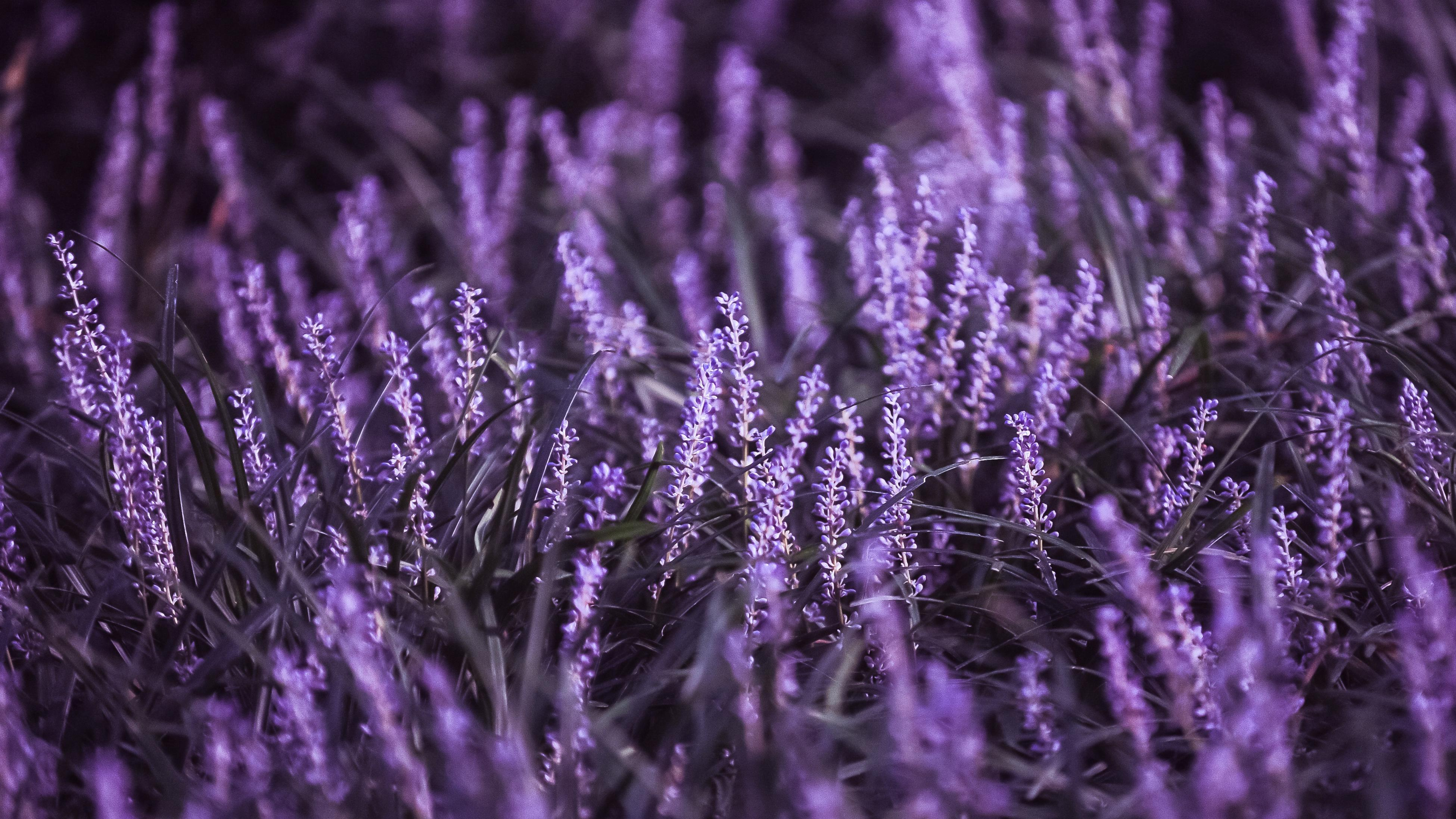 Vibrant purple hue of salvia flowers in a close up