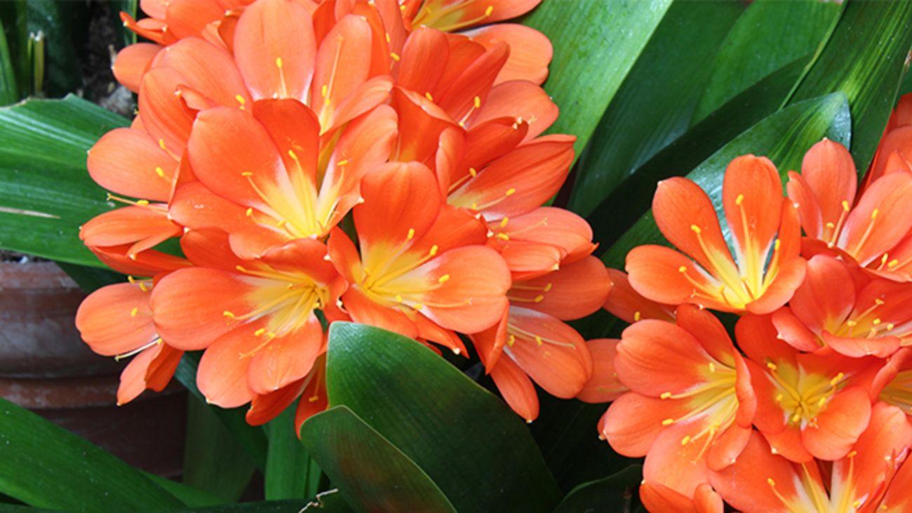 Close up of orange clivia flowers