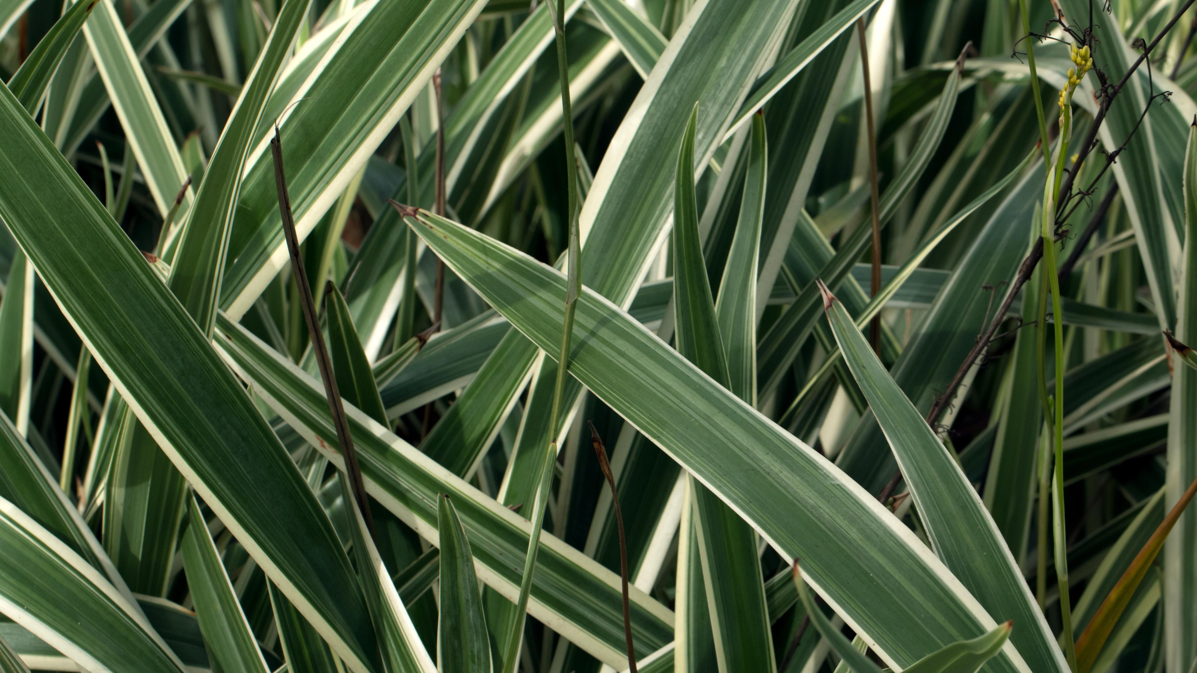 The Dianella silverado plant with bands of white around the edges of the leaves.