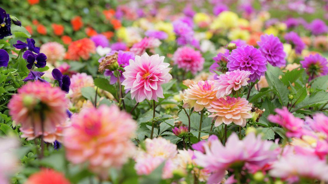 Colorful dahlia flowers