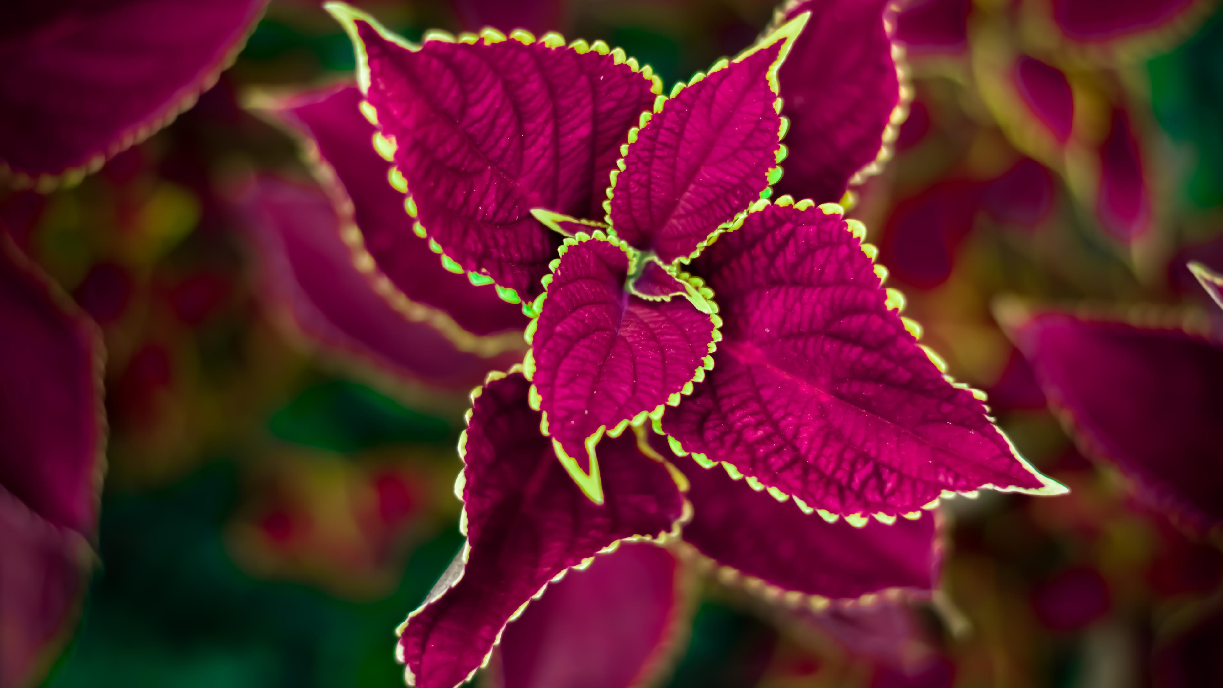 birds eye view of a deep burgundy red coleus plant with a green trim