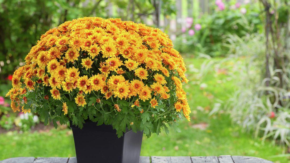 A pot of chrysanthemums with yellow flowers